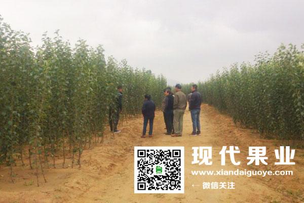 烟台现代果业参观烟富8(神富一号)示范园及苗木基地