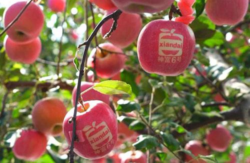神富一号,烟富8,苹果品种,脱毒苹果苗,矮化苹果苗,苹果新品种,果树新品种,懒富,樱桃苗