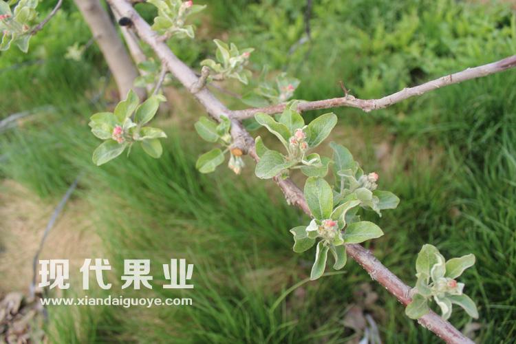 苹果花芽手绘图